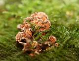 Stereum species (sanguinolentum)