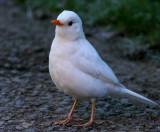 white Blackbird 2007