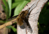 Bee-fly.