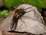 bee fly.jpg