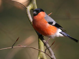 Bullfinch.jpg