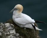 GANNETS( SEA BIRDS)