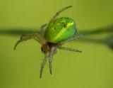 Araniella cucurbitina.jpg