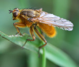 Yellow Dung-fly.