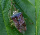 Green Birch Shieldbug.