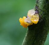 Tremella mesenterica.( Yellow brain fungus )