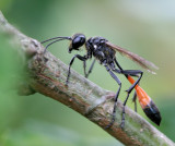 Sand Wasp.( Ammophila sabulosa )