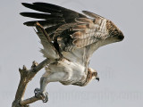 Osprey - Hunting from the perch