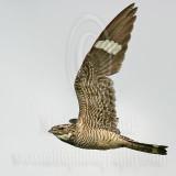 3736588 Common Nighthawk.jpg