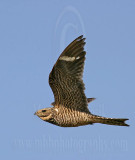 3736597 Common Nighthawk.jpg
