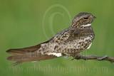 3736600 Common Nighthawk.jpg