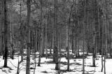 Lee Vining trees.jpg