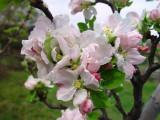 Apple Blossoms - Old Bethpage Village Restoration, Long Island, NY