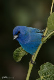 Les Passerins indigo du Mont-Royal (Mount-Royal Indigo Buntings)