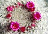 Kaktus / Cactus (40037)