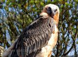 Bartgeier / Bearded Vulture (9927)
