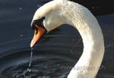 Schwan / Swan (0294)