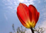 Tulpe / Tulip (06761)