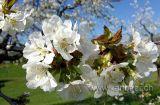Kirschblueten (07026)