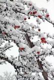 Aepfel im Schnee (04628)