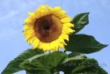 Sonnenblume (03015)