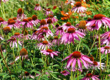 Echinacea (03035)