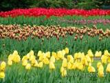 Tulpen / Tulips (00533)