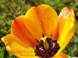 Tulpe / Tulip (06757)