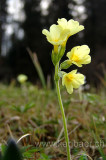 Schluesselblume (00245)
