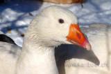 Gans / Goose (02817)