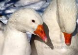 Gaense / Geese (02816)