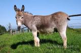 Esel / Donkey (5323)