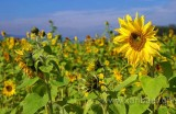 Sonnenblumen (7356)