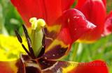 Tulpe / Tulip (00836)