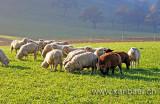 Schafe / Sheep (9515)