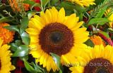 Sonnenblume (5958)