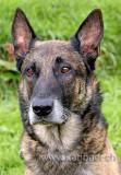 Schaeferhund (61288)