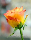 Rose (72990)