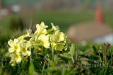 Schluesselblumen (73324)