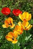 Tulpen / Tulips (73970)