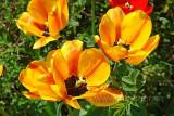 Tulpen / Tulips (73966)