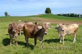 Kuehe / Cows (74387)
