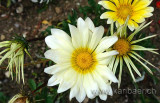 Blumen / Flowers (75352)