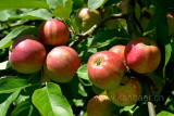 Aepfel / Apples (76865)