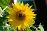 Sonnenblume (77559)