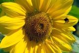 Sonnenblume (77680)