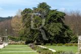 Cedro-do-Buçaco (Árvore de Interesse Público)