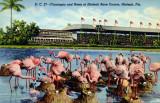 Flamingos and nests at Hialeah Park - postcard