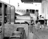 Early 1950s - Loading cattle onto a Pan American DC-4 at Miami - where the term cattle class for today's airliners came from