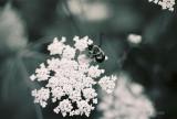 bumblebee on queenanne